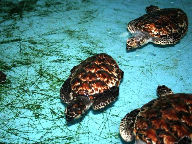 penyu sisik di pulau pramuka